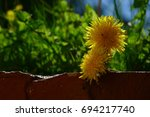 Two Dandelion Heads Showing A...
