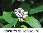 symphoricarpos albus blake ... | Shutterstock . vector #694364626