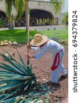 Small photo of Blue Agave plant being harvested and cut, prepared for the production of Tequila
