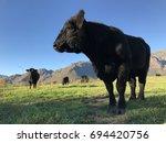 Black Angus Bull  South Africa