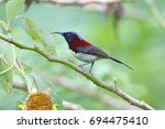 Small photo of Black-throated Sunbird Aethopyga saturata Male Beautiful Birds of Thailand