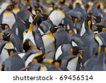 Crowded Colony Of King Penguin...