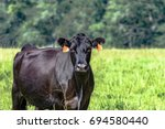 black angus brood cow from the...   Shutterstock . vector #694580440