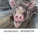 Lazy Pig Is Yawning.
