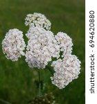 Small photo of Yarrow; Achillea; millefolium