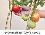 picking tomatoes in the home... | Shutterstock . vector #694672918