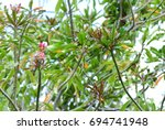 Small photo of Alternanthera Bettzickiana (Calico plant), DYERA species. An outstanding colorful textures of all parts, trees, branch, and bouquet. The flowers are beautiful and fragrant. zoom out, natural sunlight.