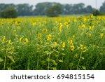 sunflowers in a field on a farm ...   Shutterstock . vector #694815154