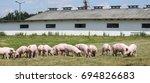 Little pink growing piglets...