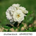 Rose Flower Grade Edelweiss ...