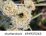 Bumble Bee Pollinating...