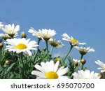 daisies against the blue sky | Shutterstock . vector #695070700
