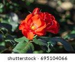 Rose Flower Grade Amsterdam ...
