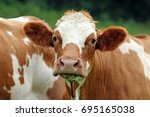 Brown And White Cow  Simmental...