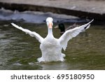 white duck flapping its wings... | Shutterstock . vector #695180950