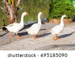 Goose Or White Goose Stand On...