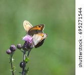 Detail Of Two Meadow Brown...