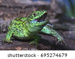 the sand lizard  lacerta agilis ... | Shutterstock . vector #695274679