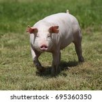 piglet enjoying sunshine on... | Shutterstock . vector #695360350