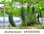 goya bitter melon  momordica... | Shutterstock . vector #695455450