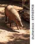 North Sulawesi Babirusa Also...