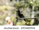 Small photo of Metallic starling is a shiny bird with red eyes known as Aplonis metallica found in New Guinea and Australia