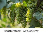 large bunches of grapes ripen...   Shutterstock . vector #695620399