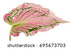 caladium bicolor with pink leaf ... | Shutterstock . vector #695673703