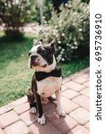 boston terrier posing outside.... | Shutterstock . vector #695736910