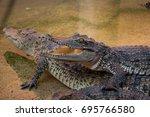 crocodile saltwater thailand | Shutterstock . vector #695766580
