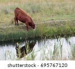Small photo of Cow drinking from a ditch, St Aidans nature park