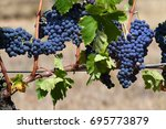 bunch of red grapes in a... | Shutterstock . vector #695773879