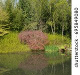 Small photo of Acer palmatum 'Dissectum' (Japanese Maple) and Gunnera manicata (Giant or Chilean Rhubarb) on the Edge of a Lake in Spring at Rosemoor in Rural Devon, England, UK