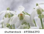 snowdrops. galanthus is a small ... | Shutterstock . vector #695866393