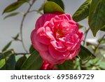 Lovely Beauty Rare Pink Rose ...