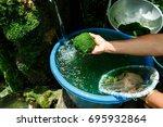 freshwater algae  spirogyra sp. ... | Shutterstock . vector #695932864