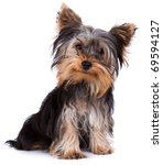 Yorkshire Terrier Looking At...