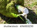Jack Fruit Sap. Sticky Organic...
