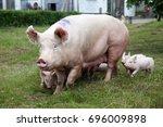 piglets suckling on the farm.... | Shutterstock . vector #696009898