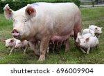 little pigs eating milk from... | Shutterstock . vector #696009904