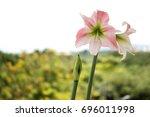 My Amaryllis Flower