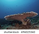 Small photo of Solid Table Coral (Acropora clathrata)