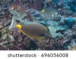 Small photo of Surgeonfish (Acanthuridae)