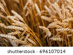 ears wheat or rye close up.... | Shutterstock . vector #696107014