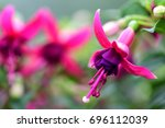 Pink Fuchsia Flowers In Bloom