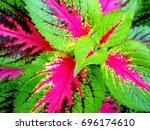 Colorful Coleus Leaves. Natura...