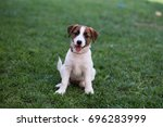 puppy jack russell terrier are... | Shutterstock . vector #696283999