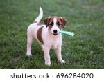 Stock photo puppy jack russell terrier plays with a toy 696284020