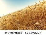 golden wheat field and sunny day   Shutterstock . vector #696290224