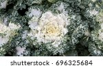 Ornamental White Cabbage